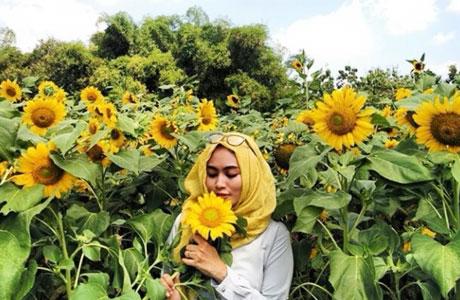 Kebun Bunga Matahari Jogja - (Youtube: Ayah NuzHa)