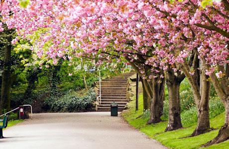 Taman Sakura, Kebun Raya Cibodas (sumber: bisniswisata.co.id)